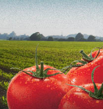 tomatoes in field